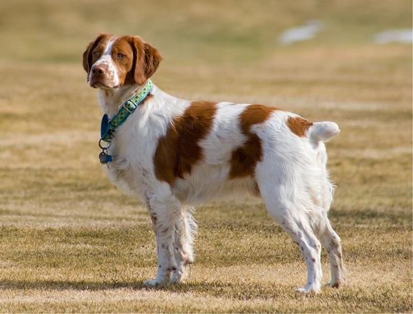 Meilleurs chiens d'arrêt : Epagneul breton