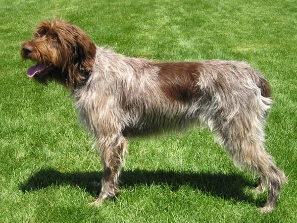 Meilleurs chiens d'arrêt : Griffon Korthals