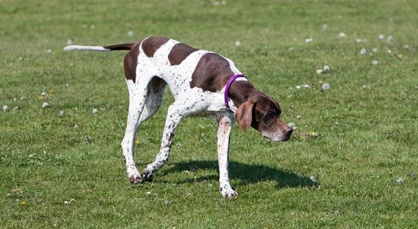Meilleurs chiens d'arrêt : Pointer anglais