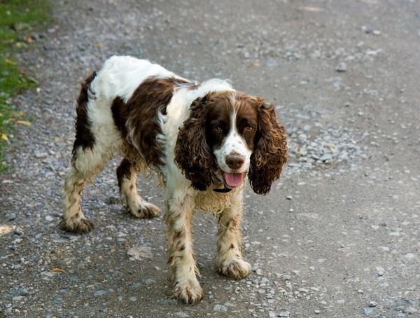 Meilleurs chiens d'arrêt : Springer anglais