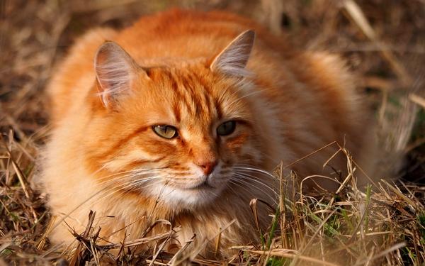 Les meilleures races de chats roux