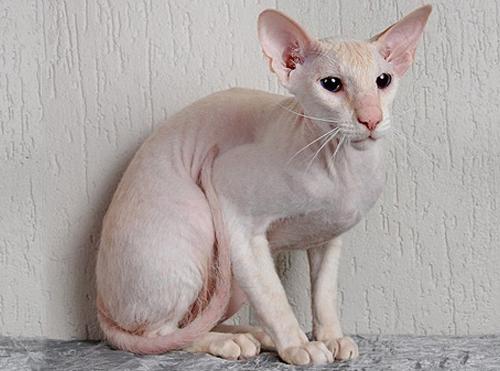 Chat sans poil : le Peterbald