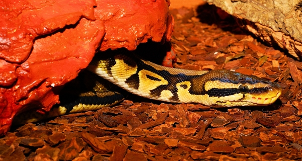 Aménager le terrarium du python royal