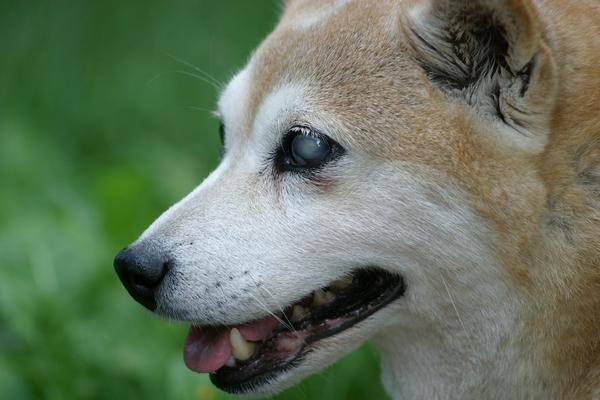 Comment bien s'occuper de mon chien devenu aveugle