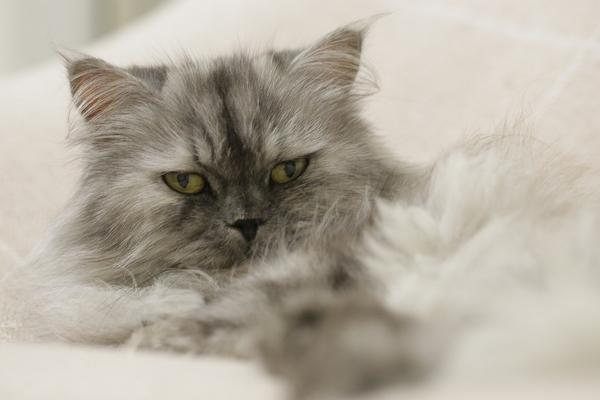 Bien entretenir le poil du chat Persan