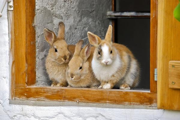 Les étapes pour bien faire cohabiter deux lapins