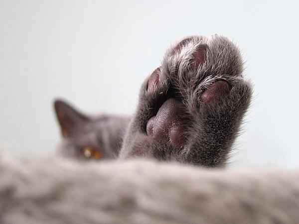 Prendre soin et entretenir les coussinets de son chat
