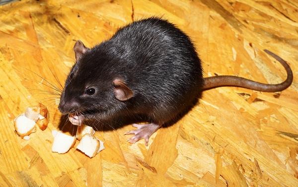 rat domestique : aliments interdits