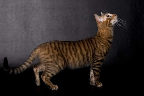 fiche race toyger