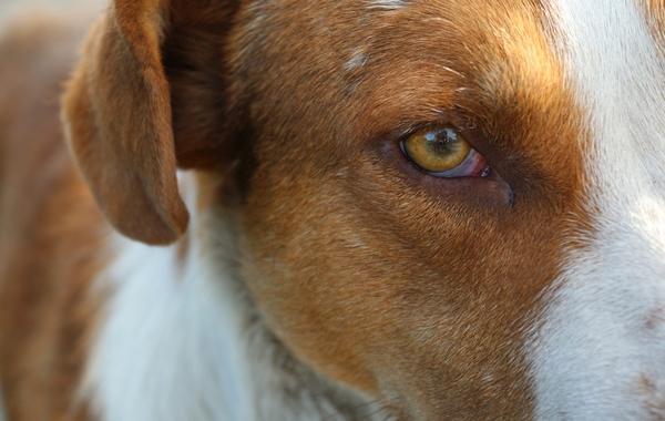 Conjonctivite chez le chien : symptômes et traitements