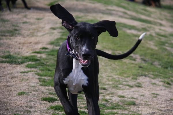 Mon chien secoue ses oreilles : pourquoi et que faire ??