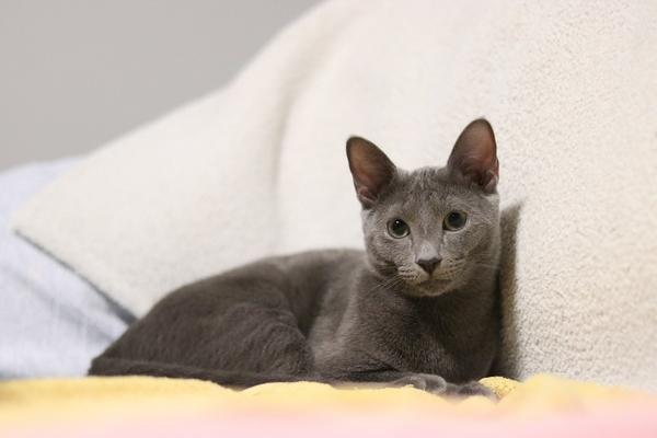 Races de chats gris : Bleu russe