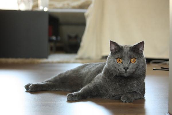 Races de chats gris : Chartreux