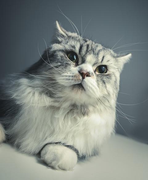 Races de chats gris : Persan