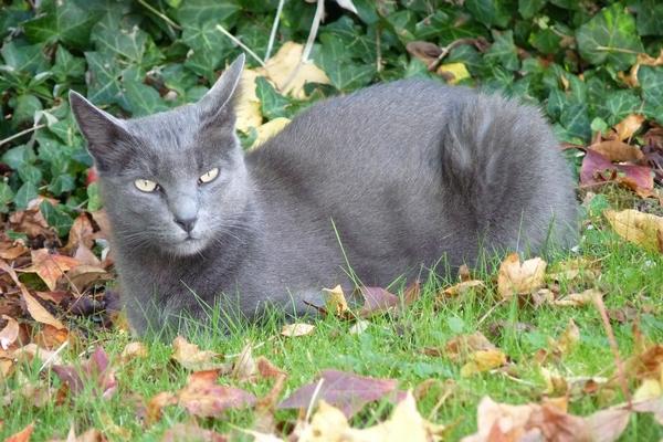Races de chats gris : Korat