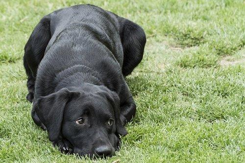 Races de chiens d'assistance : Labrador Retriever