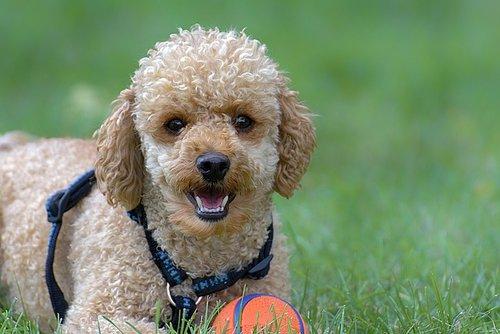 Races de chiens de thérapie : Caniche