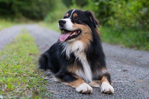 Races de chiens de thérapie : Berger australien