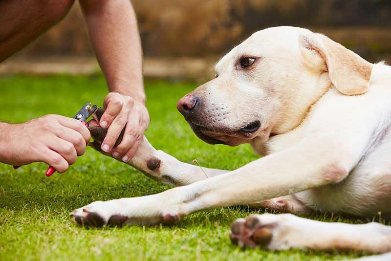 comment couper les griffes chien