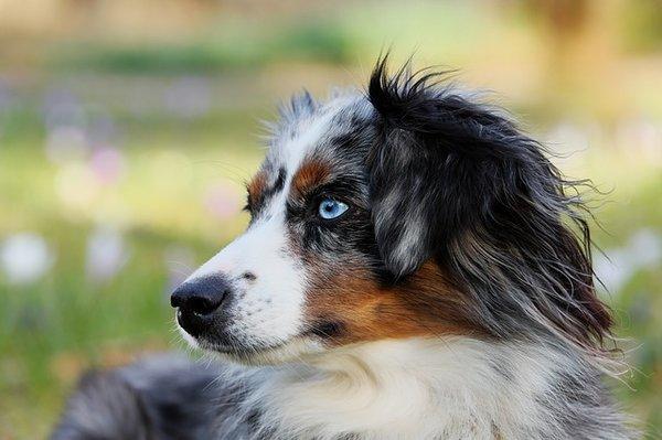 Le Berger australien : le chien préféré des français