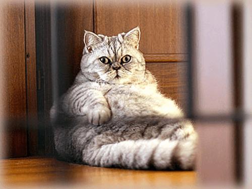 combattre l'obésité du chat