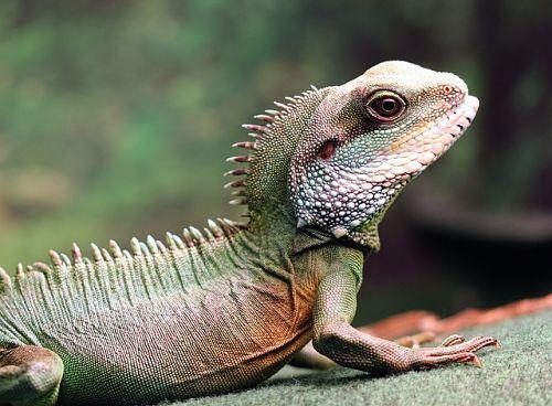lézards pour débutant : dragon d'eau