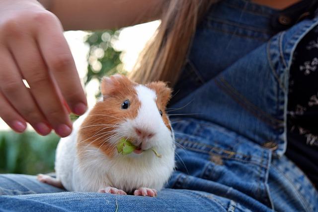 Rongeurs affectueux : cochon d'inde