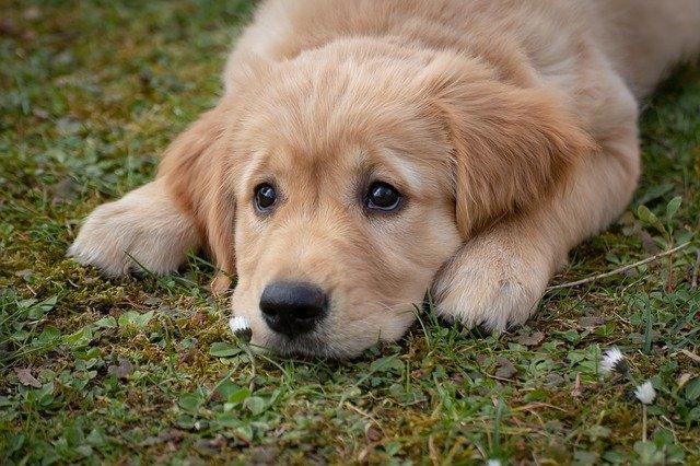 chien triste et malade