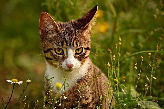 langage des oreilles du chat