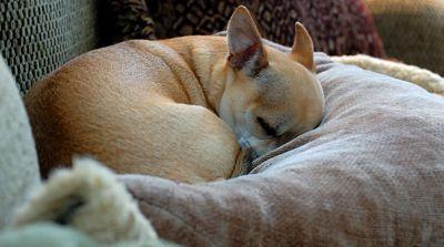 Races de chien qui supportent bien la solitude : le Chihuahua