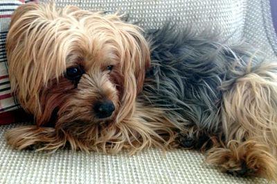 Races de chien qui supportent bien la solitude : le Yorkshire terrier