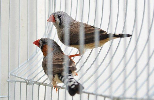 oiseau domestique