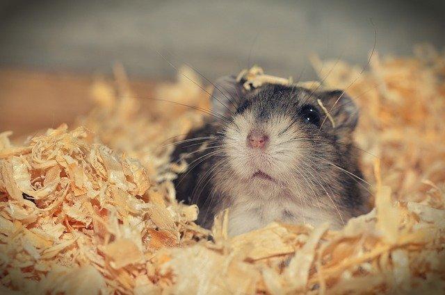 hamster heureux