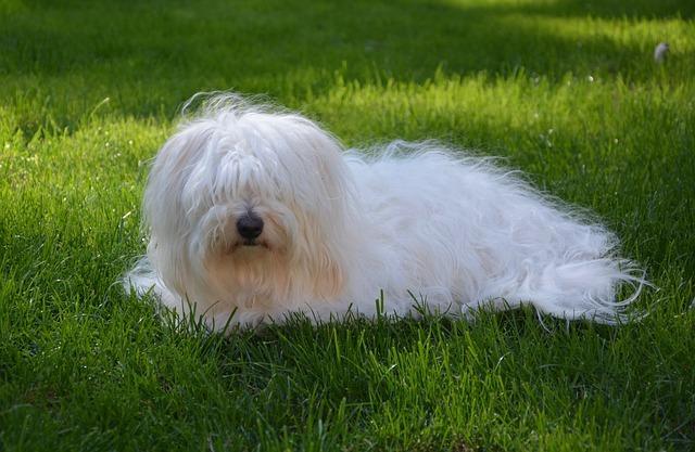 Meilleurs chiens pour les personnes âgées : le Coton de Tuléar