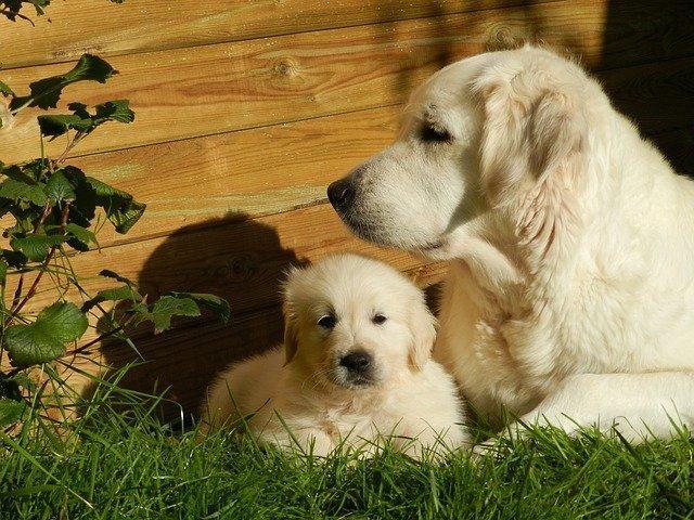 Meilleurs chien pour les enfants : Golden Retriever