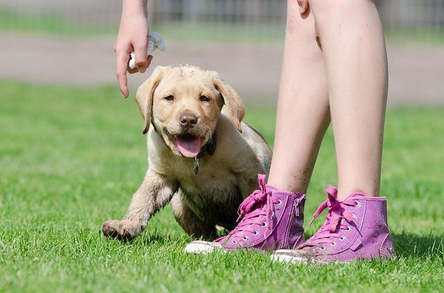Meilleures races de chien pour les familles avec les enfants : Labrador