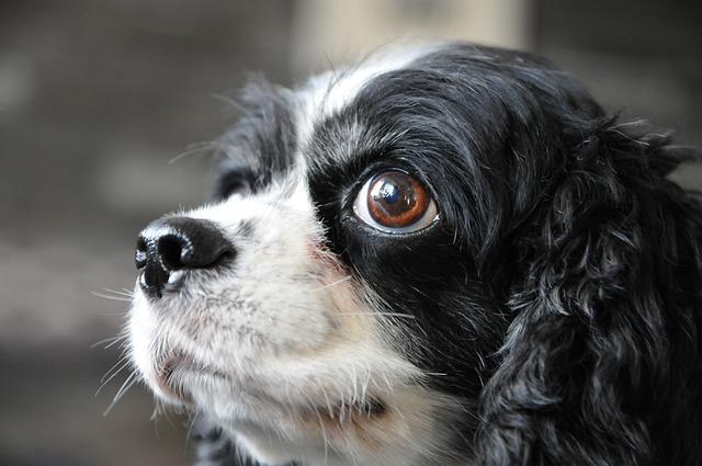 Meilleurs chiens pour les enfants : Cavalier King Charles