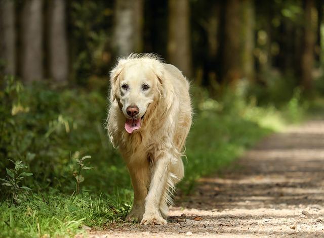 âge d'un chien : chien senior