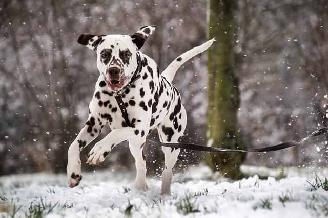 Races de chiens sensibles au froid : le Dalmatien