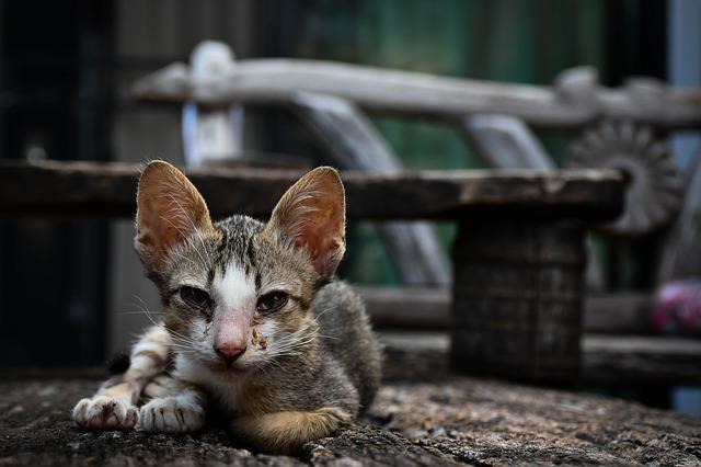 chat malade qui ne mange plus