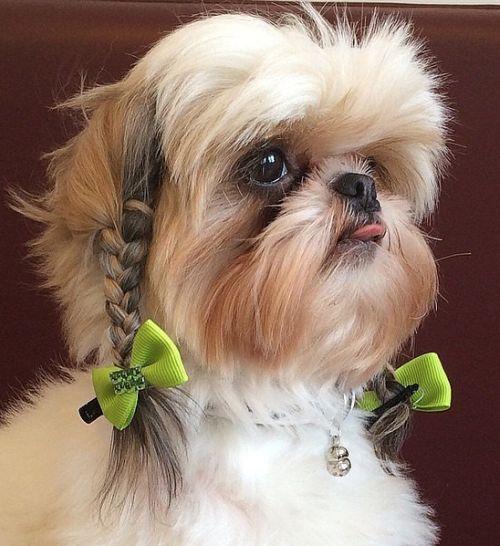 chien beauté