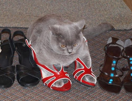 chat chaussures