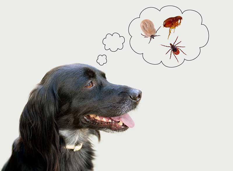 produit puces chien