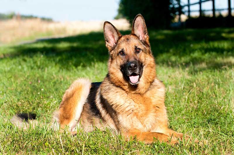 Berger allemand : chien qui mord le plus