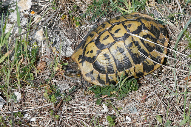 le biotope corse et les tortues hermann testudo hermanni