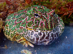 grenouilles non toxiques