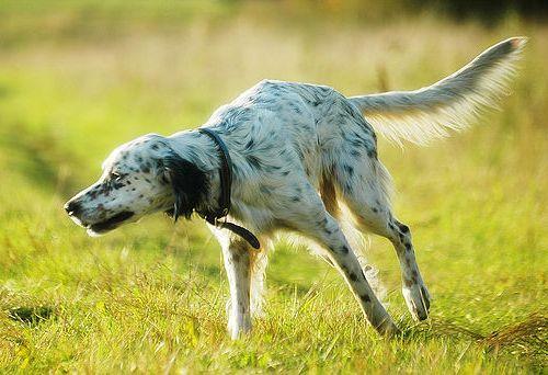 Setter Anglais : 10ème race canine préférée en France