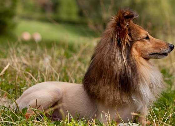 chien qui ressemble lion