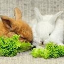 Le lapin angora : prix et entretien