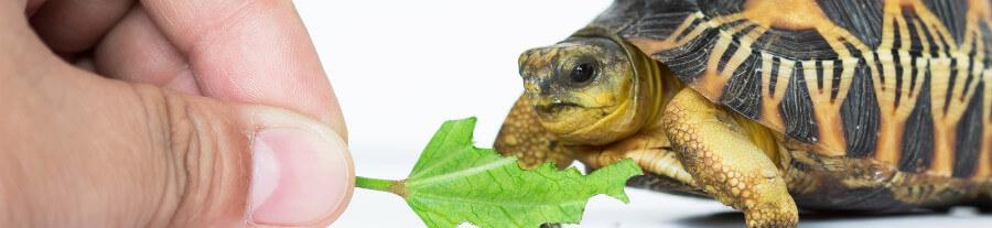 10 choses savoir avant d acheter une tortue de terre - Choses a savoir avant de peindre une piece ...